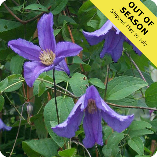 Clematis Blue Boy