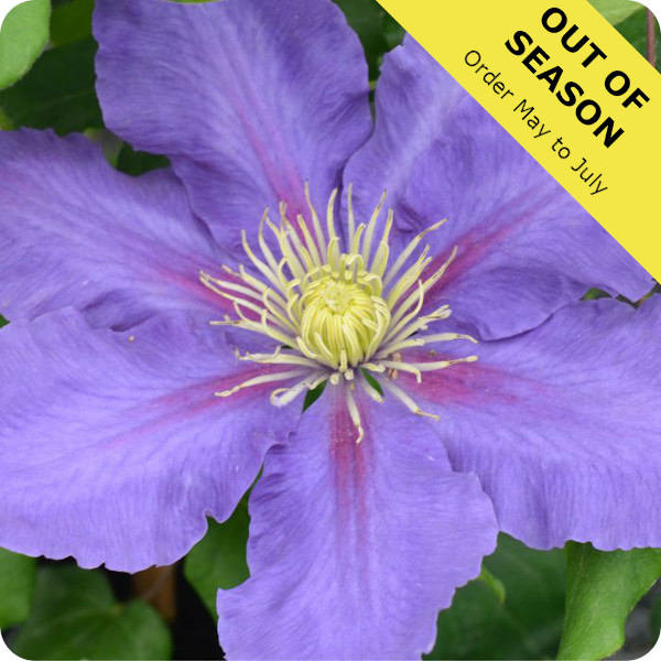 Clematis Chevalier