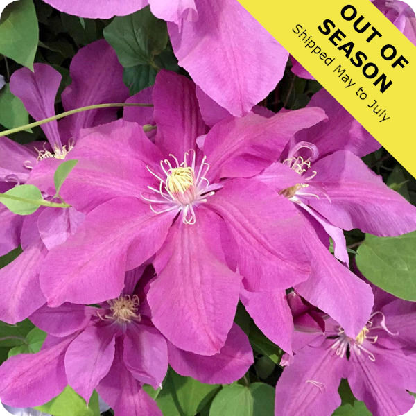 Clematis Dorothy Tolver
