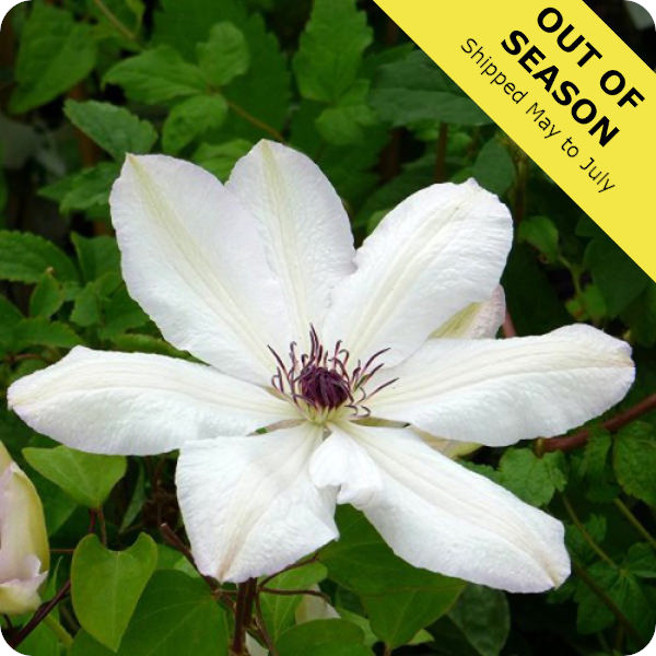 Clematis Edith
