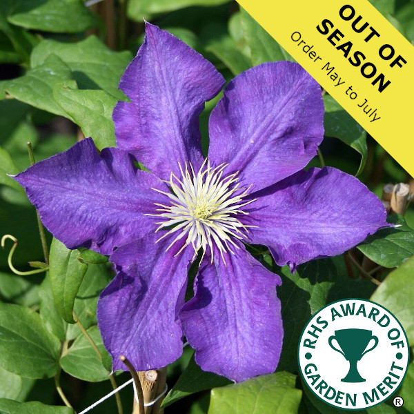 Clematis Lady Betty Balfour