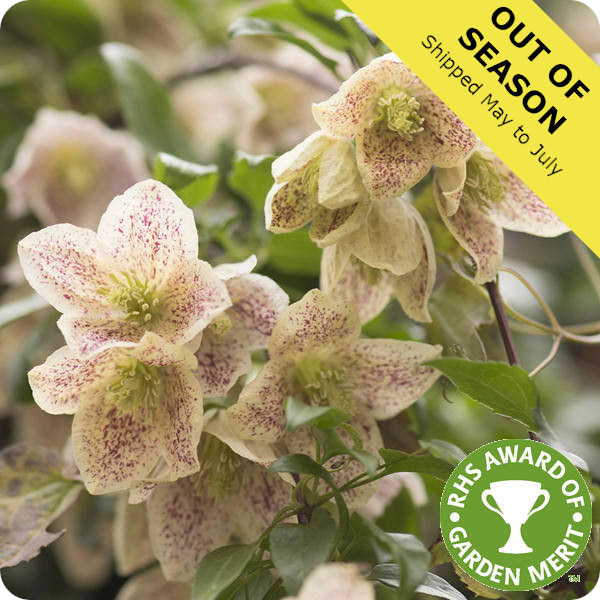 Clematis Balearica