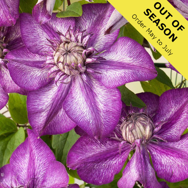 Clematis Cassis