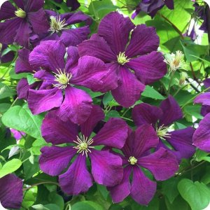 clematis_etoile_violette