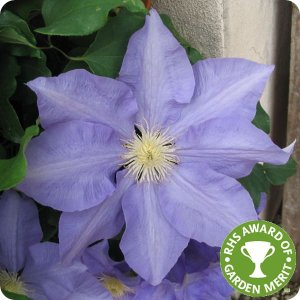 clematis_hf_young_rhs