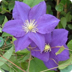 clematis_lady_northcliffe