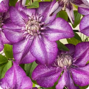 clematis_cassis