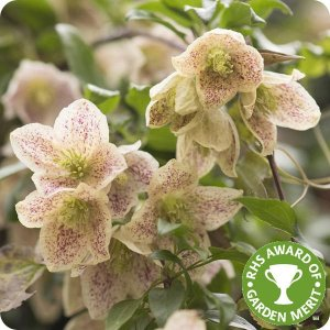 clematis_balearica