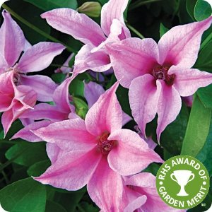 clematis_duchess_of_albany