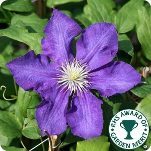 clematis_lady_betty_balfour