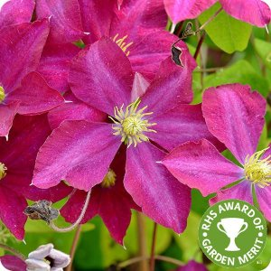 clematis_madame_edouard_andre_rhs