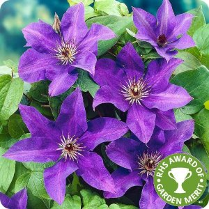 clematis_the_president_rhs