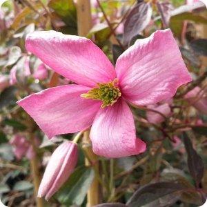 clematis_warwickshire_rose